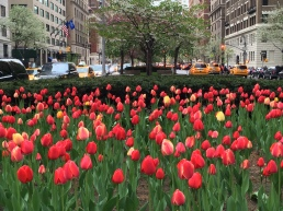 The tulips on Park Avenue