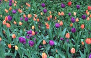 The tulips in Central Park